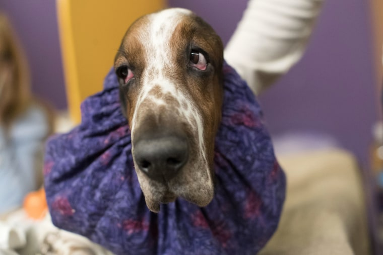 Image: Davis, a basset hound, waits in the staging area