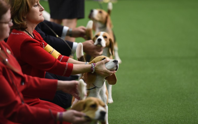 Image: Beagles line up in the Judging area