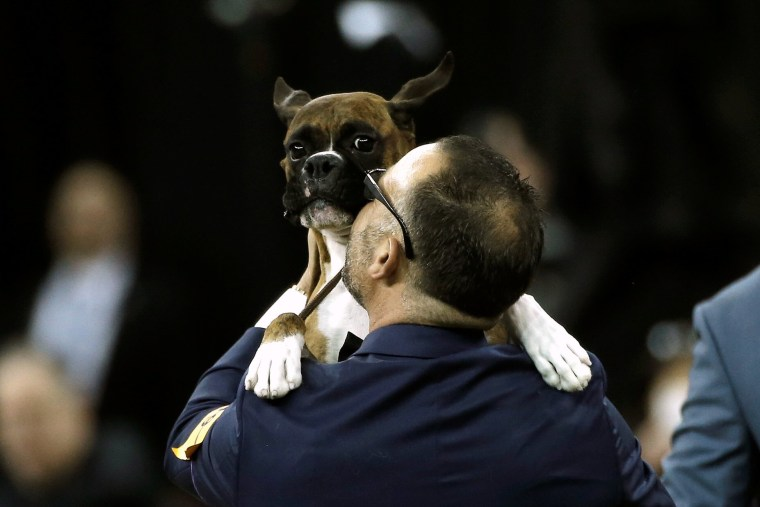 Image: Devlin, a Boxer, is lifted by his handler Diego Garcia after winning the Working Group judging at the 141st Westminster Kennel Club Dog Show at Madison Square Garden in New York City