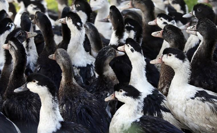 Image: Ducks roam a farm in La Bastide Clairence