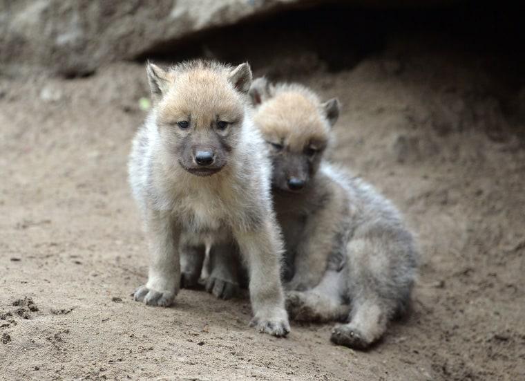 Image: Wolf pups