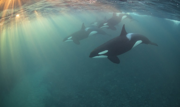 Image: Nicholai Georgiou took this photo during a week of free-diving with wild orcas in Norway.
