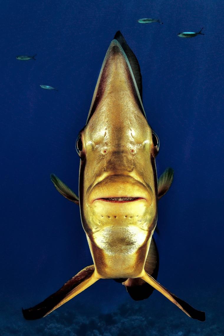 "Image: ""Portrait"" of a bat fish font on in Shark Rafeen, Rash Mohamed National Park in Egypt."