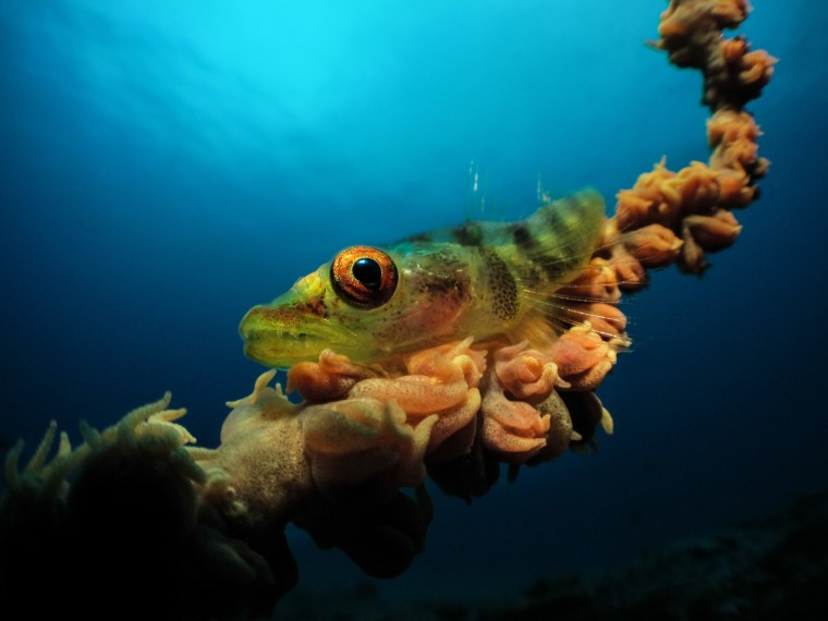 Image: Jenny Stromvoll was able to capture this image of a whip coral goby with the Inon compact bug-eye lens, giving a lot of character to the goby's eye