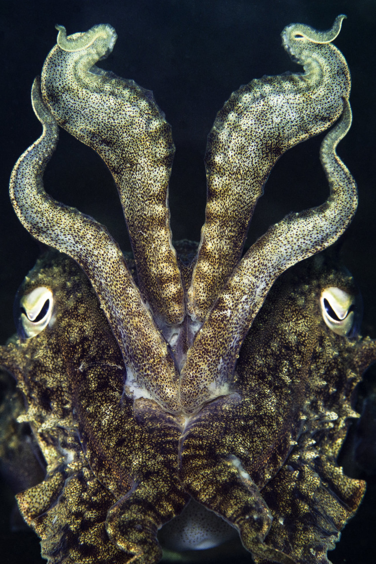 Image: Kirsty Andrews captured an image of this cuttlefish (Sepia officinalis), posed to ward off danger, in British waters.