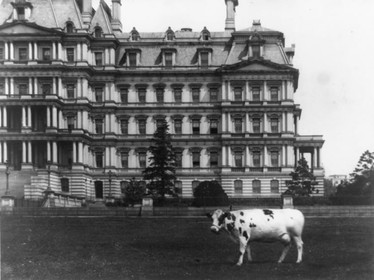 Image: Pauline, pet cow of President Taft, stands the on lawn in front of the State, War and Navy Building in Washington, D.C., circa 1909-1913