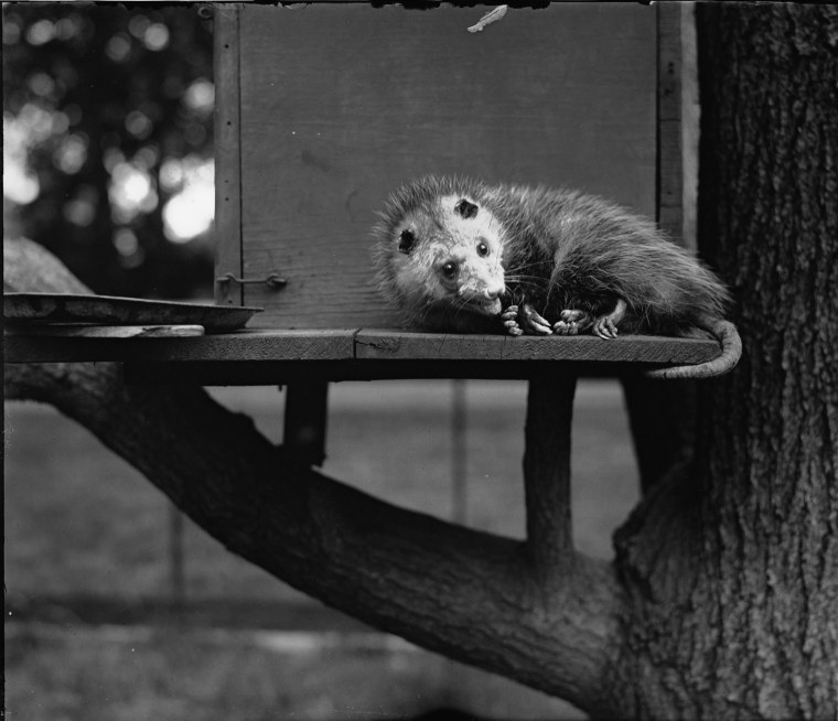 Image: This opossum was adopted by President Herbert Hoover. It was allegedly given to Hyattsville High School to serve as a mascot for a short time.