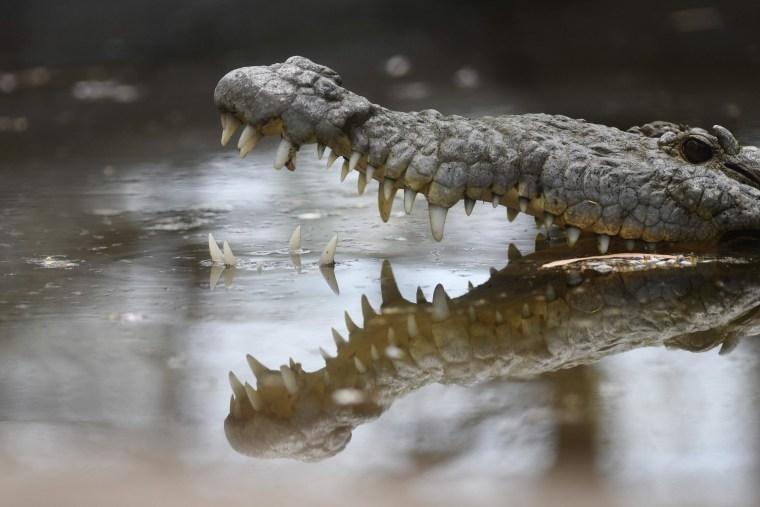 Image: TOPSHOT-EL SALVADOR-CROCODILE-GEOTHERMIC-SHELTER