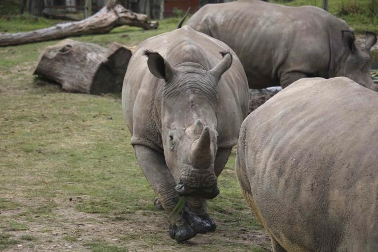 Image: The rhinoceros Vince