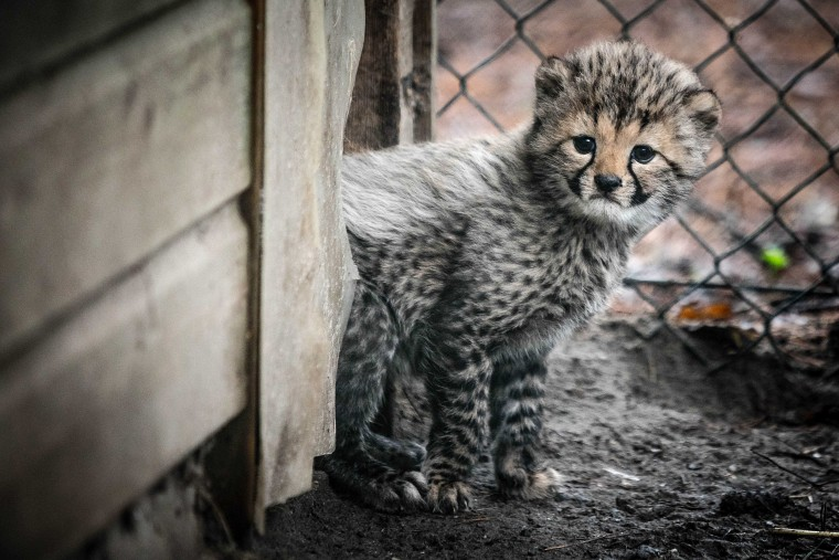 Image: Cheetah cubs in Beekse Bergen Safari Park
