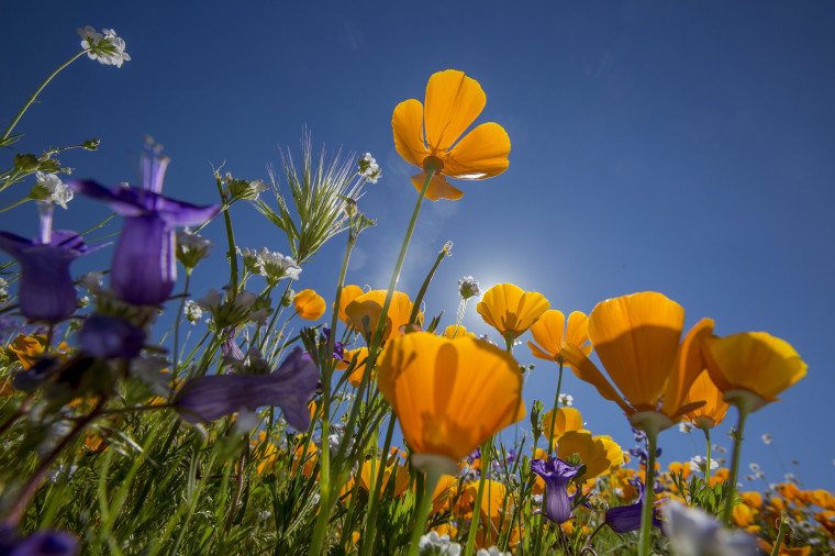Image: Sea Of Springtime Wildflowers Spreads Across Southern California