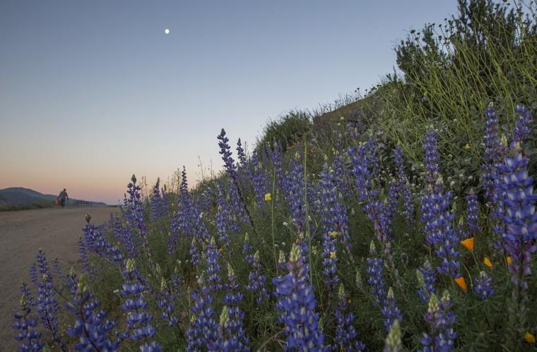 Image: Sea Of Springtime Wildflowers Spreads Across Southern California