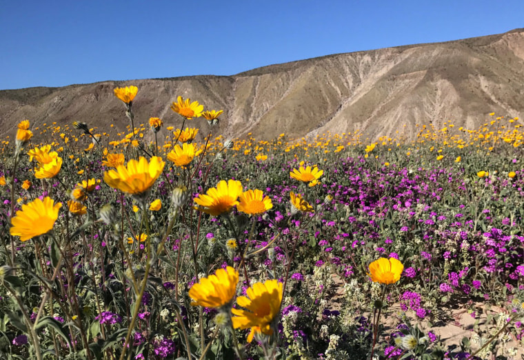 Image: A massive spring wildflower bloom caused by a wet winter is seen in Anza-Borrego Desert State Park