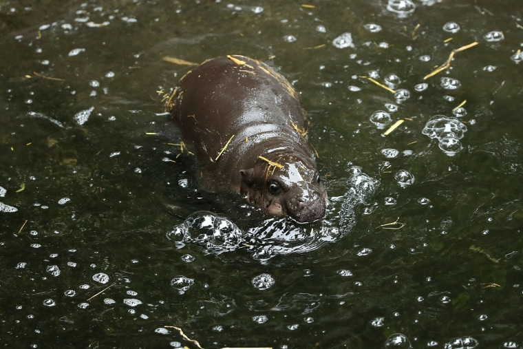 Image: BESTPIX Taronga's New Baby Pygmy Hippo Makes Public Debut