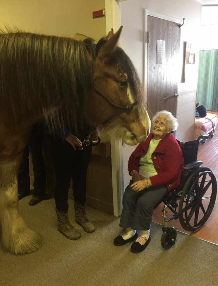 Neigh-Neigh the Clydesdale at the Village of East Harbor Senior Living Community in Michigan last week.