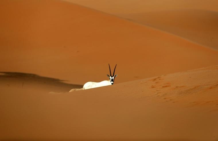 Image: Arabian Oryx are seen at the Arabian Oryx Sanctuary in Um al-Zamool, near the United Arab Emirates' border with Saudi Arabia on March 23, 2017.