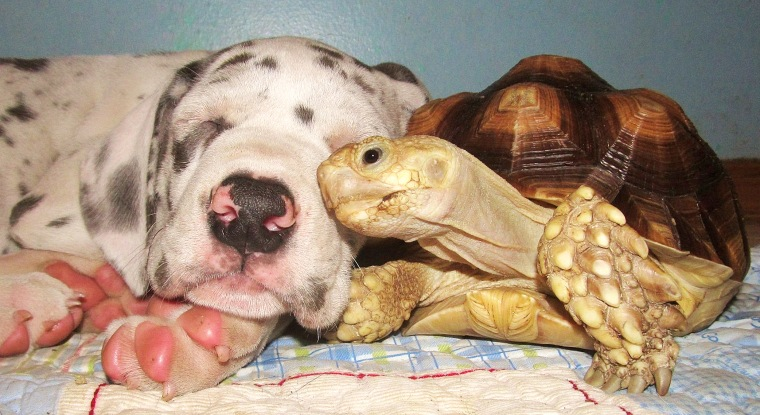 Crouton the tortoise really loves puppies.