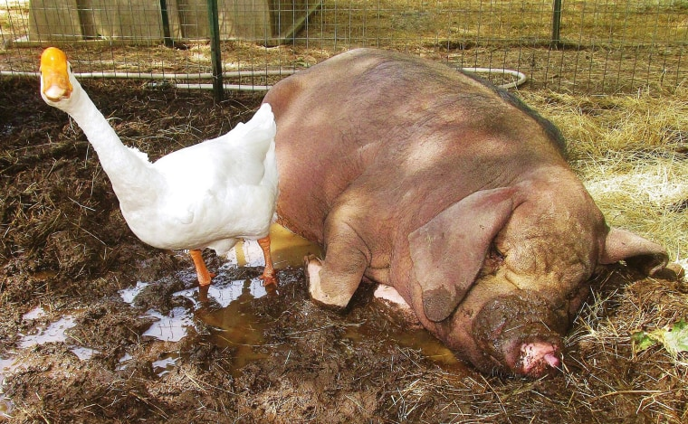 And why wouldn't a goose and pig be best friends?