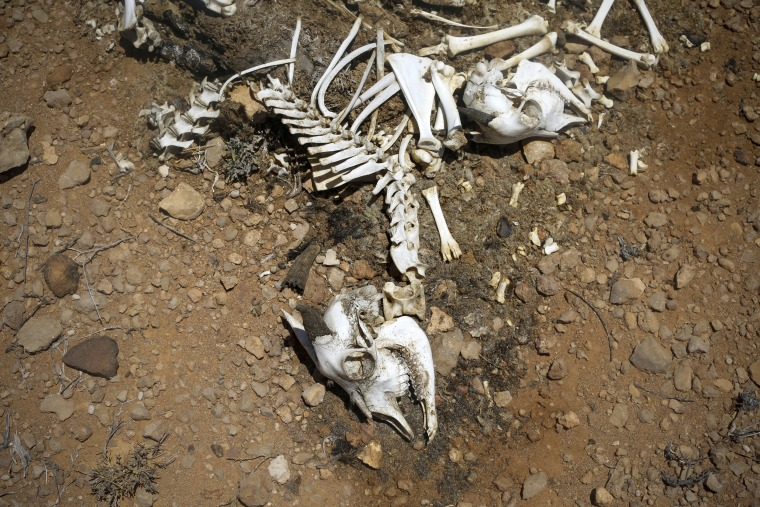 Image: The carcass of an animal that died from severe drought is seen near a pastoral settlement in the Bandarbeyla district in Somalia's semi-autonomous region of Puntland, March 24.