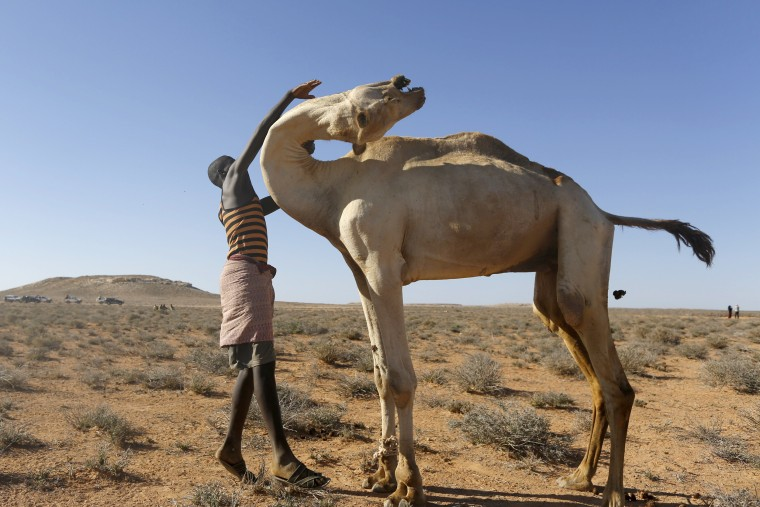 Image: Ali Asair, who has left his family behind and traveled hundreds of kilometers in search for a pasture for his animals, tends to his camel in the Bandarbeyla district of Somalia, March 24.
