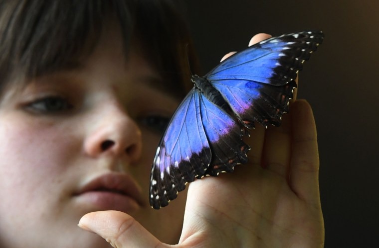 A girl looks on a butterfly sitting on her hand during an exhibition of tropical butterflies at the botanical garden April 9, 2017 in Prague.