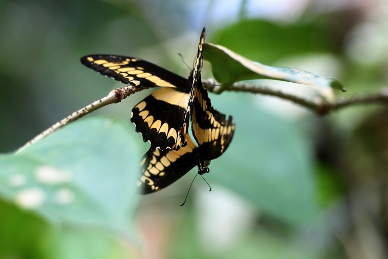 Two butterflies sit on a twig at an exhibition of tropical butterflies at the botanical garden April 9, 2017 in Prague.