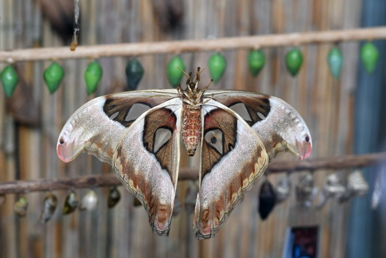 A butterfly spreads its wings after coming out of its cocoon at an exhibition of tropical butterflies at the botanical garden April 9, 2017 in Prague.