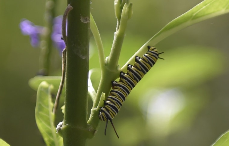 A Monarch butterfly (Danaus plexippus) caterpillar is pictured at a butterfly farm in the Chapultepec Zoo in Mexico City on April 7, 2017.   Millions of monarch butterflies arrive each year to Mexico after travelling more than 4,500 kilometres from the United States and Canada. / AFP PHOTO / PEDRO PARDOPEDRO PARDO/AFP/Getty Images