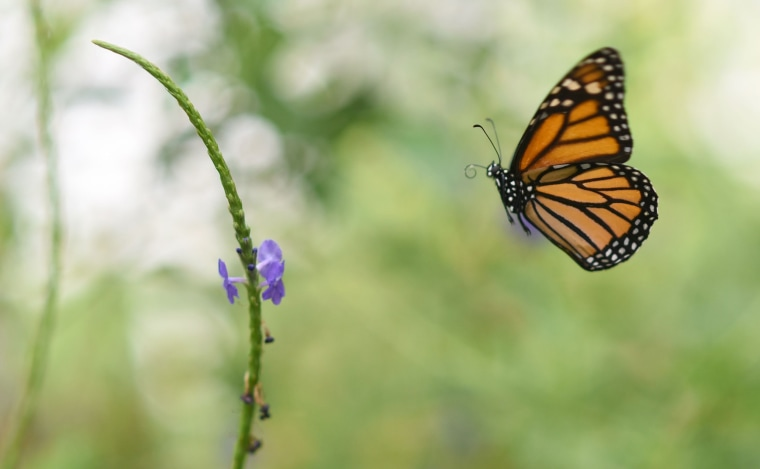 A Monarch butterfly (Danaus plexippus) is pictured at a butterfly farm in the Chapultepec Zoo in Mexico City on April 7, 2017.   Millions of monarch butterflies arrive each year to Mexico after travelling more than 4,500 kilometres from the United States and Canada.