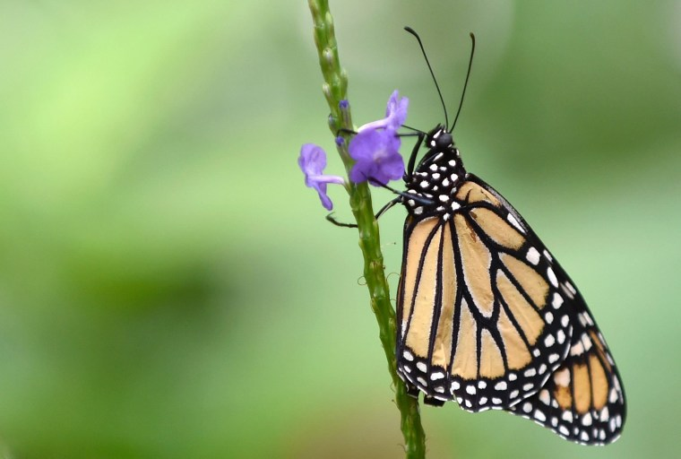 A Monarch butterfly (Danaus plexippus) is pictured at a butterfly farm in the Chapultepec Zoo in Mexico City on April 7, 2017.   Millions of monarch butterflies arrive each year to Mexico after travelling more than 4,500 kilometres from the United States and Canada. / AFP PHOTO / Pedro PardoPEDRO PARDO/AFP/Getty Images