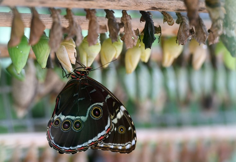 A butterfly comes out of its cocoon at an exhibition of tropical butterflies at the botanical garden April 9, 2017 in Prague.