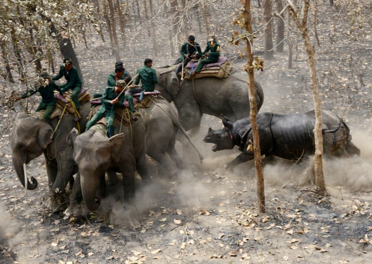 Image: A relocated rhino charges a Nepalese forestry and technical team