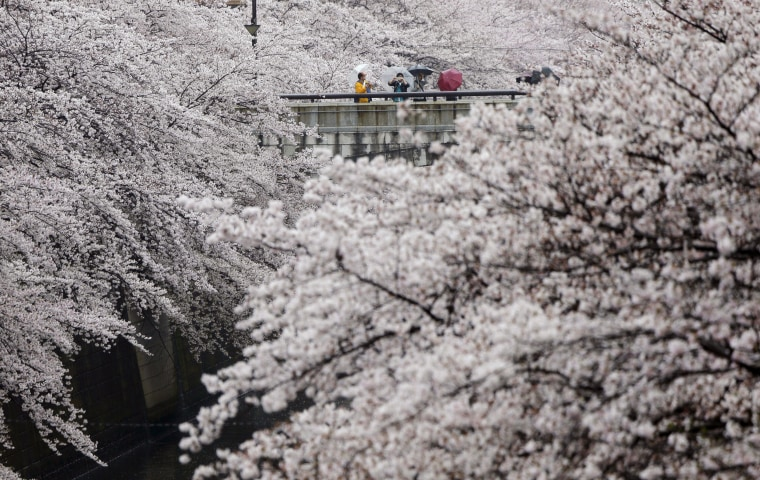 Image: Visitors enjoy the cherry blossoms at the Meguro river in Tokyo