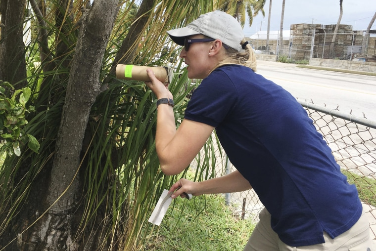 Image: Research entomologist Catherine Pruszynski releases male mosquitos in Key West