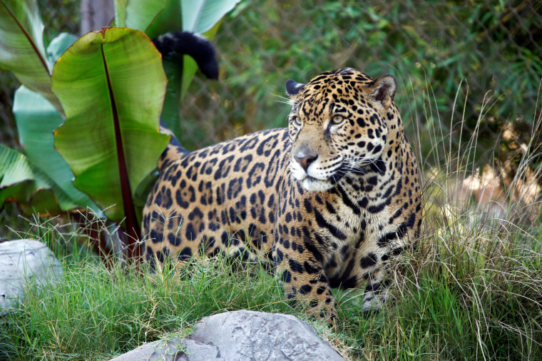 Image: A jaguar is pictured in its enclosure during a summer day at the Los Angeles Zoo