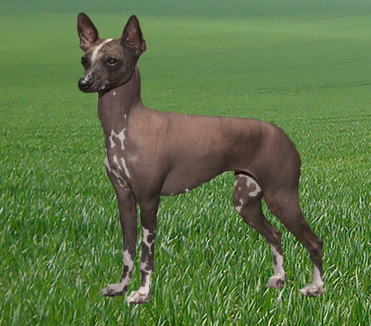 A toy Xoloitzcuintel, a breed that likely descended from dogs that crossed the Bering land bridge with Native American ancestors.