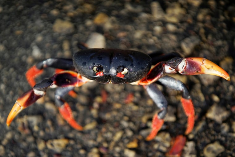 Image: A crab coming from the surrounding forests reacts to the camera on its way to spawn in the sea in Playa Giron, Cuba