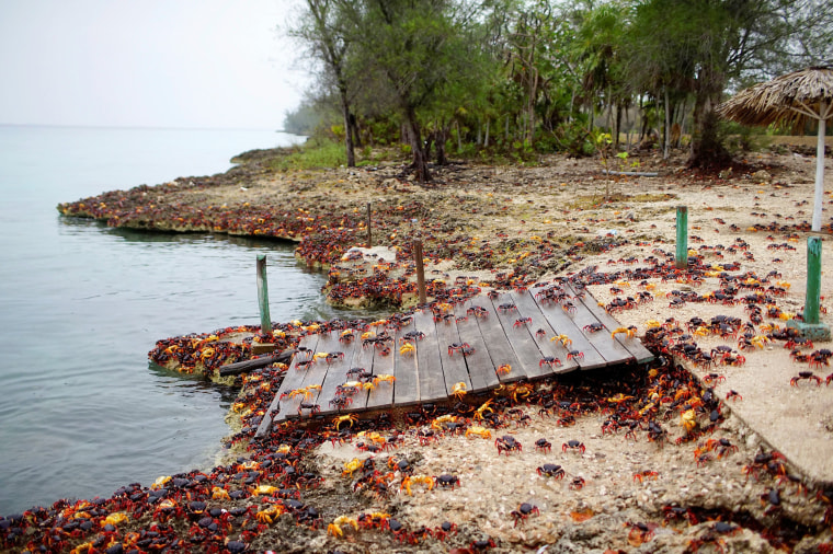 Image: Crabs coming from the surrounding forests gather near the sea to spawn in Playa Giron, Cuba