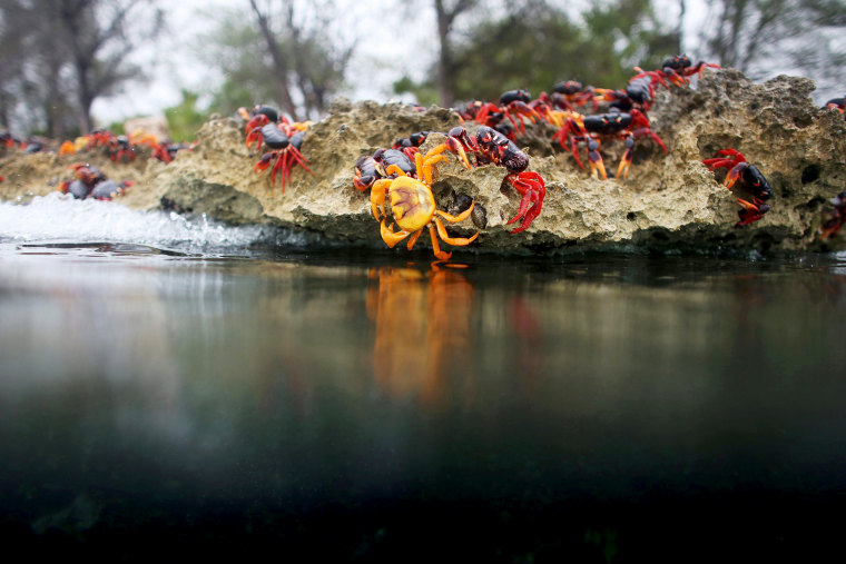 Image: Crabs coming from the surrounding forests spawn in the sea in Playa Giron, Cuba