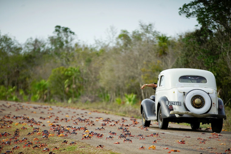 Image: A man driving a vintage car reacts as he passes by crabs crossing a highway on their way to spawn in the sea in Playa Giron, Cuba