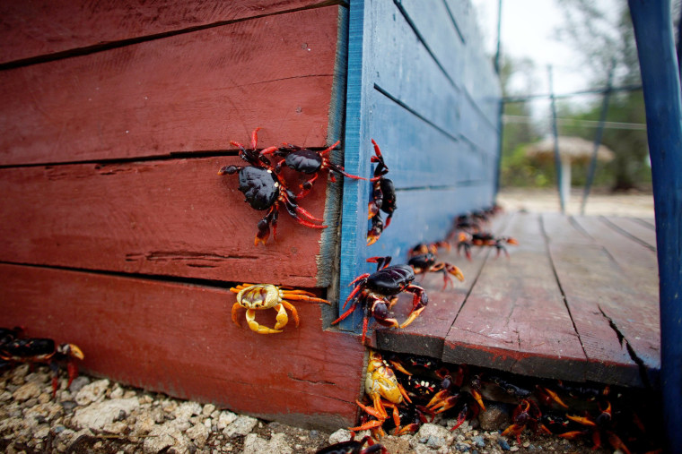 Image: Crabs coming from the surrounding forests climb a food hut on their way to spawn in the sea in Playa Giron, Cuba
