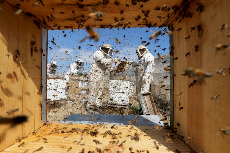Image: Palestinian Beekeepers Collect Honey at a Farm in Rafah in the southern Gaza Strip
