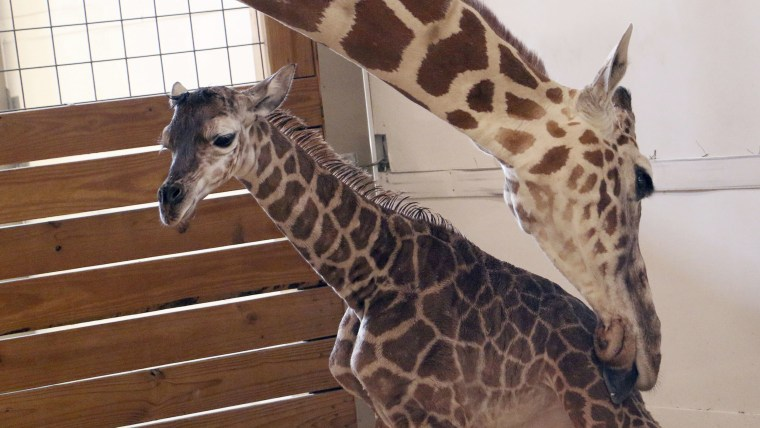 April the giraffe names calf