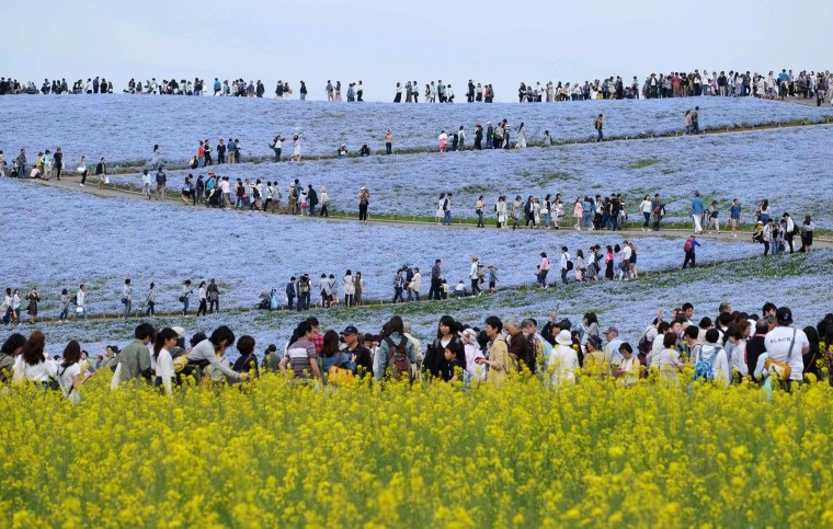 Image: People walk on a hill covered with nemophila flowers in full bloom