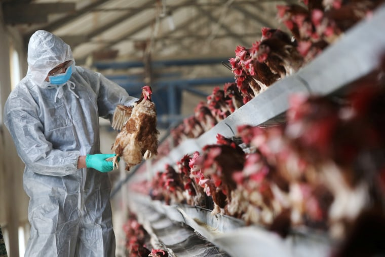 Image: A quarantine researcher checks on a chicken at a poultry farm in Xiangyang