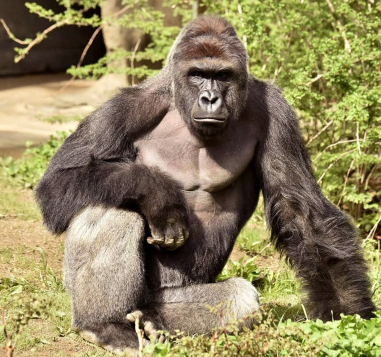 Image: Harambe, a 17-year-old gorilla at the Cincinnati Zoo