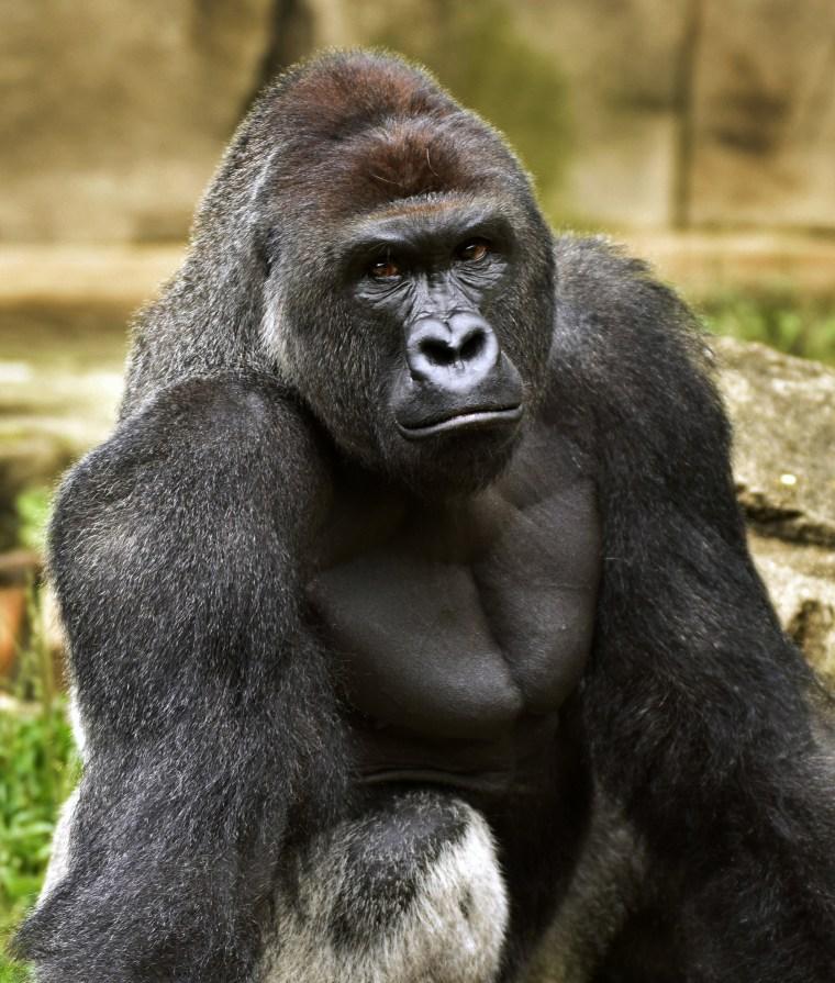 Image: Harambe, a western lowland gorilla