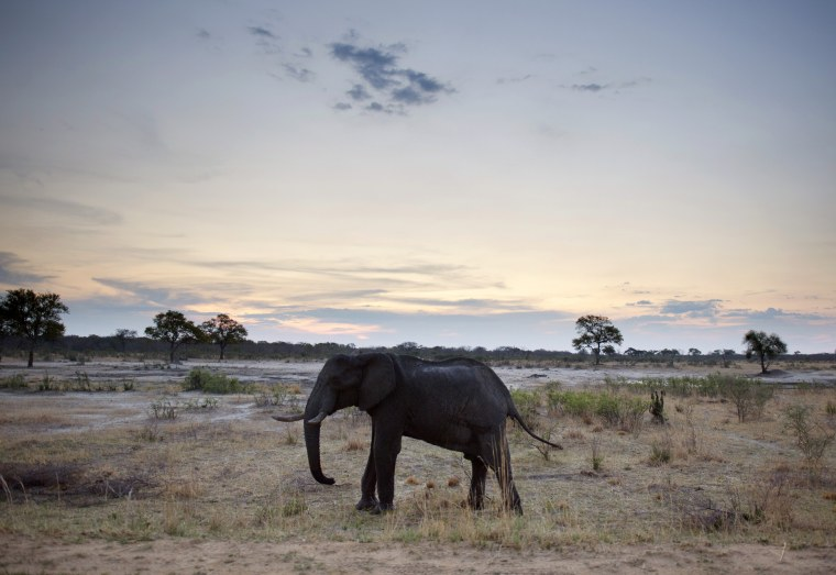 Image: An African elephant walks in Hwange National Park in Zimbabwe