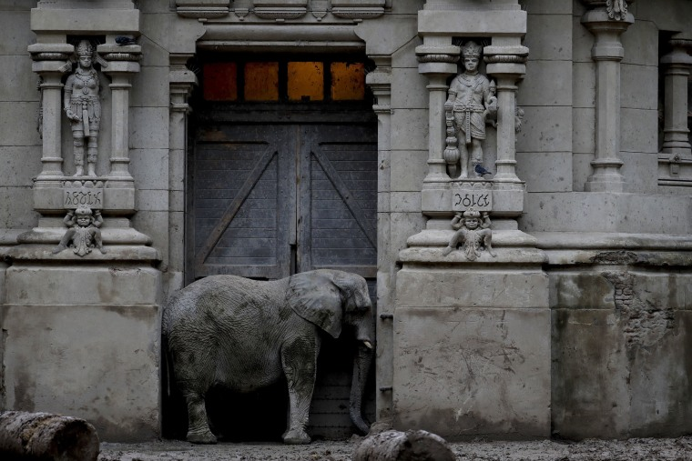 Image: An African elephant stands in the doorway of his enclosure at Eco Parque in Buenos Aires