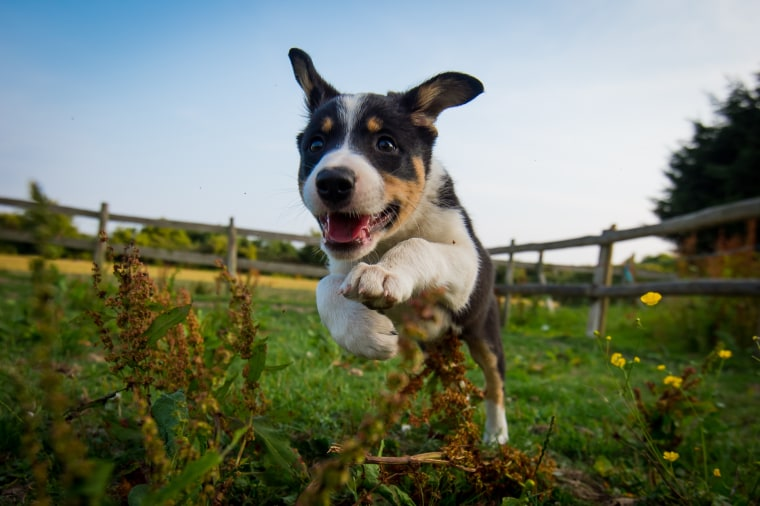 A Border Collie running through a field